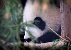 Panda I (Photato Jonez) Tags: bear tree alex nature zoo dc washington nikon day national d3300
