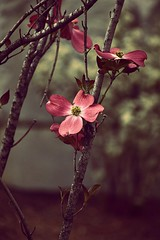 share (7for70nations) Tags: pink plant nikon d 5500 dogwood
