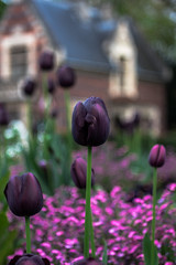 IMG_0586 (Nikan Likan) Tags: pink white paris flower color green field zeiss vintage lens 50mm prime purple jena depthoffield carl tulip m42 ddr manual depth f28 | 2016 tessar bokeu
