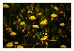 _DSC0044 (diegogonzlezvilda) Tags: naturaleza color verde plantas amarillo margaritas vegetacin deshojadas