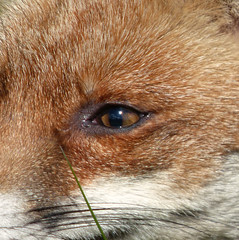 Eye, do believe it's a Foxy lady (Peanut1371) Tags: brown white eye mammal fox nationalgeographicwildlife