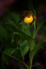 Large Yellow Lady's Slipper (MJGjuggler06) Tags: county ohio orchid nature yellow canon is spring memorial adams state native ladys l 5d wildflowers usm davis preserve slipper f4 70200mm peeble cypripedium pubescens ohiowildflowers