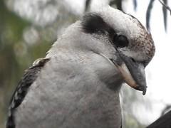 kookaburra (jeaniephelan) Tags: kookaburra australianbird tasmanianbird