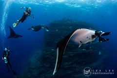Three in a row (Lea's UW Photography) Tags: mexico underwater wideangle fisheye manta socorro boiler mantaray subal canon5dmk3 lealee canon815mm