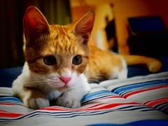 Kim (mcg0011) Tags: pet cute kitten kat feline kitty gato felino katze gatto gatti mascota kot gatita katt gatito migato cucho hauskatze migatito monchat meinekatze cuchito lindagata schnekatze