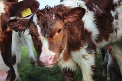 Welcome 2016 taken 20 minutes after birth (excellentzebu1050) Tags: animal animals closeup cow cattle farm birth newborn calf calves newlife animalportraits dairycows oudside coth5