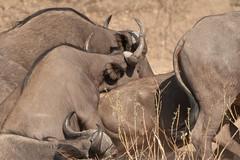 SK7_6181 (glidergoth) Tags: park south safari national zambia waterbuffalo luangwa mfuwe bubalusbubalis