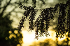 20160116-28_Coombe Country Park_Yew Needles (gary.hadden) Tags: trees silhouette yew needles minimalist coombeabbey coombecountrypark coombepark