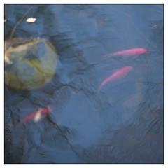 goldfish pond (PIKTORIO) Tags: detail reflection berlin water germany pond goldfish liquid piktorio