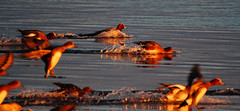 Widgeons at first light. (Chris Kilpatrick) Tags: chris bird nature water animal canon scotland duck outdoor wildlife moray widgeon lossiemouth canon60d sigma150mm600mm