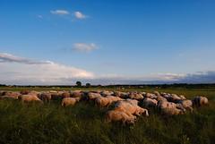 Sheep (Sareni) Tags: trees light sky tree colors grass animal clouds evening spring sheep serbia vojvodina twop srbija nebo 2014 banat drvo trava prolece stado boje svetlost zivotinje oblaci ravnica ovce drvece livada pasnjak alibunar juznibanat sareni utrina