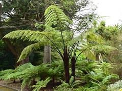 Cyathea medullaris (dracophylla) Tags: royaltasmanianbotanicalgardens cyatheaceae blacktreefern cyatheamedullaris