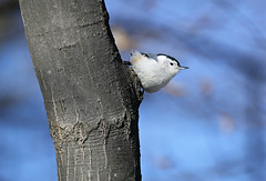 White-Breasted Nuthatch (Doris Burfind) Tags: bird nature wildlife nuthatch whitebreastednuthatch wolflane