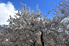 Cherry Blossom in Hunza (Furqan LW) Tags: pakistan nature cherry blossom hunza hu gilgit furqan furqanlw