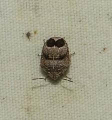 Honduran Shield-Backed Bug (Odonata457) Tags: bug bonito honduras lodge pico scutelleridae atlntida shieldbacked atlntida homaemusproteus