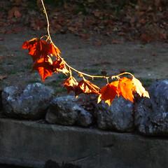 P1150549 (omirou56) Tags: november autumn macro nature outdoor natur natura 11 greece ελλαδα φυση νερο φωσ φθινοπωρο φυλλα panasoniclumixdmctz40