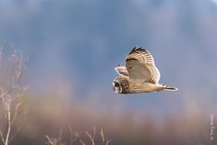Short-eared owl (Asio flammeus) (Tony Varela Photography) Tags: owl shortearedowl asioflammeus photographertonyvarela