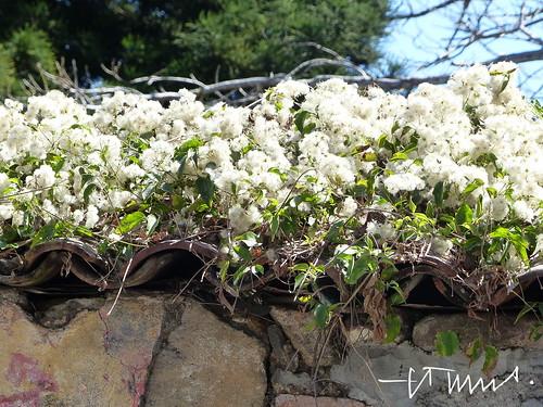 Bougainvillea, Paper flower,  Alegría, El Salvador