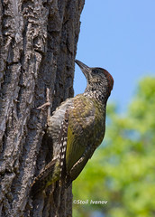 European green woodpecker (Picus viridis) -juvenile (Stoil Ivanov) Tags: green garden botanical woodpecker european bulgaria juvenile balchik viridis picus
