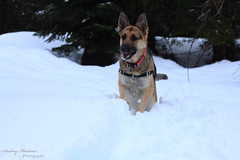 Snow Day with Mila (audreykristine) Tags: snow creek gold day german shepard