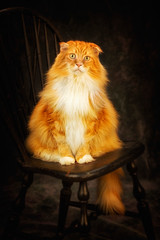 Togus the Cat (ROPhoto77) Tags: portrait animal cat studio promo maine coon nik filters ronnorenstein
