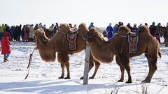 DSC06114 (rickytanghkg) Tags: china winter white snow cold sony mongolia camel innermongolia neimongolia