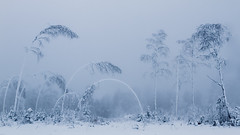 Taking A Bow To Winter (T. Kristensen) Tags: blue trees winter mist snow cold tree norway fog no bent bendy hnefoss buskerud eggemoen
