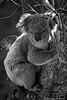Koala bear B/W (boze610 [ GRocca Photo ] ( travel and nature )) Tags: travel wild blackandwhite bw tree travelling nature animal animals wildlife naturallight australia natura victoria koala wildanimal vic greatoceanroad marsupial albero viaggi viaggio animali animale biancoenero koalabear naturalmente viaggiando greatphotographers lucenaturale canoneos400d canon400d wildlifeofaustralia marsupiale groccaphoto