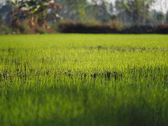 Rice Field Northeast Thailand Isaan Esarn - Reisfeld Nordosten (hn.) Tags: copyright green field rural thailand countryside asia asien heiconeumeyer seasia soasien southeastasia sdostasien rice paddy farming feld reis growing grn agriculture ricefield northeast ricepaddy cultivation reisfeld isaan paddyfield anbau isan copyrighted upcountry esan issan ricecultivation sisaket lndlich esarn northeastthailand isarn ricegrowing nordost ricefarming youngrice nordosten issarn newrice reisanbau sisaketprovince nordostthailand upcountrythailand khunhan chanwatsisaket provincialthailand jungerreis neuerreis tp201516