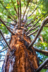 12 years growth (pbo31) Tags: california winter brown color macro tree green nature up yard outdoors nikon branch earth january depthoffield growth bark trunk eastbay redwood livermore pleasanton alamedacounty 2016 boury pbo31 d810