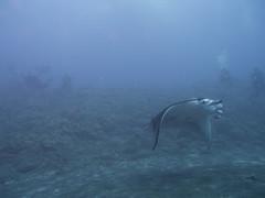 Manta ray (Yuxuan.fishy.Wang) Tags: hawaii us unitedstates scuba diving manta mantaray kailuakona