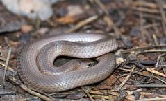 Smooth Earth Snake as flipped (cre8foru2009) Tags: nature animal georgia reptile snake herping virginiavaleriae smoothearthsnake