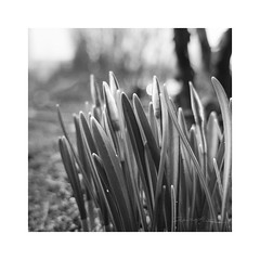 Soon (smoothna) Tags: flowers bw macro nature spring snowdrops springcoming smoothna fujix30