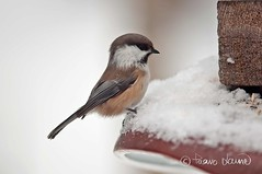 Lapintiainen, Parus cinctus (Paavo Laine) Tags: birds lumi talvi lintu pikkulintu siberiantit paruscinctus