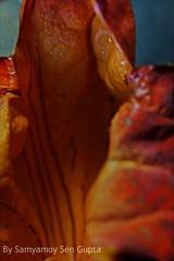 VAGINA SERIES  1 (SAMYAMOY SEN GUPTA -- PHOTOGRAPHY) Tags: stilllife flower photography photo god creative goddess vagina conceptual shiva bastard parvati teak agni polash