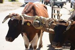 DSC_6143 (Gepa_84) Tags: chile puerto ox cart oxen dominguez buey regin araucania bueyes yunta