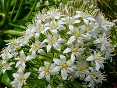 Scilla peruviana 'alba' (yewchan) Tags: flowers flower nature colors beautiful beauty closeup garden flora colours gardening vibrant blossoms blooms lovely scilla scillaperuviana