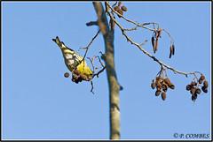 _DSC0131_Tarin des Aulnes (patounet53) Tags: bird oiseau eurasiansiskin carduelisspinus tarindesaulnes fringillids passriformes