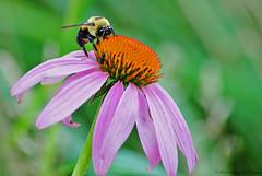 Bee's Knees (Fly Sandman) Tags: orange flower macro insect echinacea bokeh bee bumblebee pollen purpleconeflower walkinthewoods georgewashingtoncarvernationalmonument compoundflower diamondmo