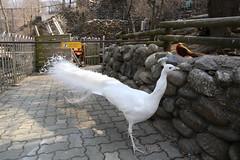 150327_1326 (Gordon C ) Tags: zoo korea seoul seoulgrandpark  seoulzoo