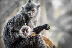 Silver Leaves (helenehoffman) Tags: animal sumatra mammal monkey borneo sandiegozoo primate langur malasia arboreal oldworldmonkey specanimal trachypithecuscristatus silverylutung silverleaflangur conservationstatusnearthreatened