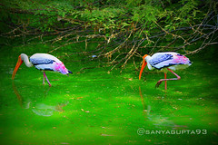 Painted Storks [P4] (sanyagupta09) Tags: new city travel india green bird nature beautiful birds photography niceshot colours view feeding delhi sony exploring birding greenery dslr photooftheday picoftheday bestshot naturelover morningview capturing travelphotography birdphotography sonyalpha sonydslr travelphotographer featherbirds