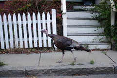 wild turkey in the city (nicknormal) Tags: cambridge wild boston turkey wildturkey cambridgeport