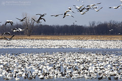 Rising Above the Crowd (right2roam) Tags: river flying inflight spring flock national missouri valley migration wildliferefuge migrating snowgeese squawcreek snowgoose right2roam
