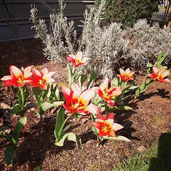 gang of tulips #candyland #tulips #canbymanor #canby (HOUSE OF PINKU) Tags: tulips candyland canbyoregon canbymanor