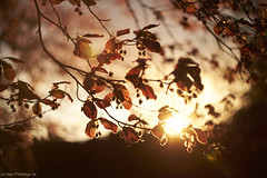 [ 365 | 121] (frau_k) Tags: sunset garden lens ks sunday turbo ii 121 365 herr buche zhongyi lieblingsbaum m42fx helios44m4zenit58mmf20