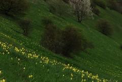 20160416-008F (m-klueber.de) Tags: flora primula echte kaiserstuhl primulaceae 2016 badenwrttemberg badberg sdbaden europische veris oberrheintal schlsselbume primelgewchse mitteleuropische mkbildkatalog 20160416 20160416008f