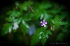 Flower (tristanm) Tags: macro germany de flora nordrheinwestfalen monschau