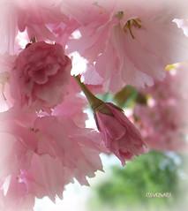 Blossom...still life (clevernails) Tags: pink stilllife macro love closeup composition spring blossom romantic