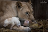 DSC_3821-1 (Linda Smit Wildlife Impressions) Tags: cats white nature animal cat mammal photography big nikon outdoor african wildlife birth lion d750 cubs endangered lioness bigcats cecil carnivore lioncubs givingbirth